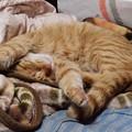 写真: 2009年02月15日の茶トラのボクチン(4歳)