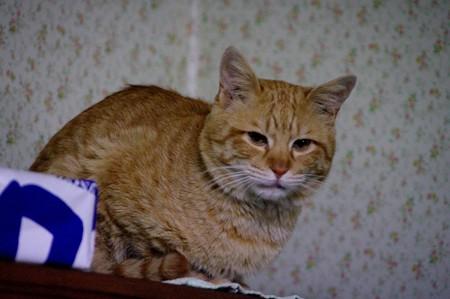 2009年02月17日の茶トラのボクチン(4歳)