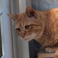 写真: 2009年03月01日の茶トラのボクチン(4歳)