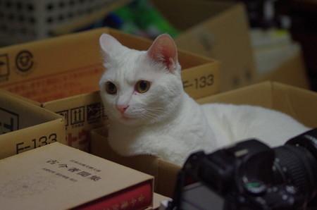 2017年8月16日のシロちゃん(雌4歳)