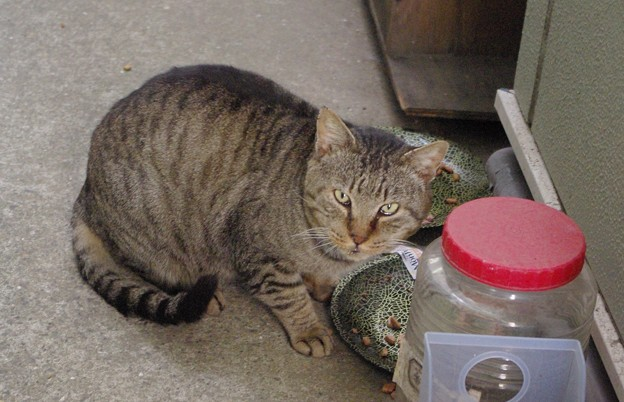 2018年1月14日餌を要求する放浪猫
