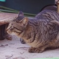 写真: 2018年1月20日の迷い猫パンチ君