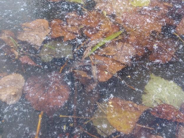 初冬・氷の中の落葉