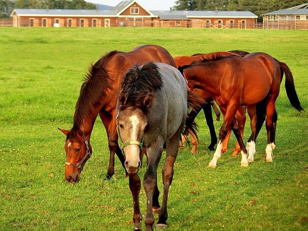 サラブレッド達~白馬に成れなかったグレーの馬~(ノД`)