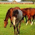 写真: サラブレッド達~白馬に成れなかったグレーの馬~(ノД`)