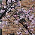 Photos: 誕生日の桜