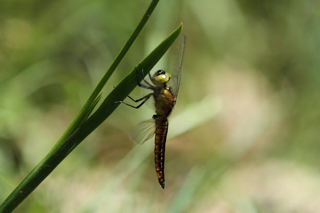 ハラビロトンボ♂未成熟(2014/05/11 東山植物園)