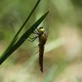 Photos: ハラビロトンボ♂未成熟(2014/05/11 東山植物園)