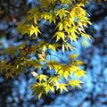 写真: 黄色いモミジの葉