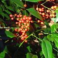 写真: ナンテンの赤い実