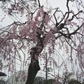 写真: 枝垂れ桜 2013.03.30