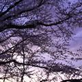 Photos: 紫へ