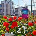 Photos: 秋バラ都電