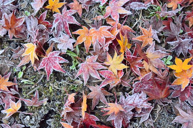 写真: 霜もみじ(2)