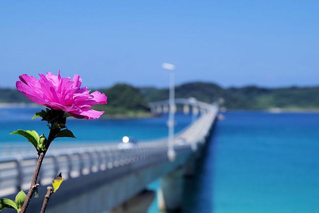 八重咲のムクゲの花