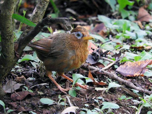 地面で餌を探す鳥