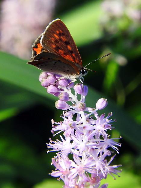 ツルボと蝶