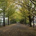 【昭和記念公園:銀杏並木】