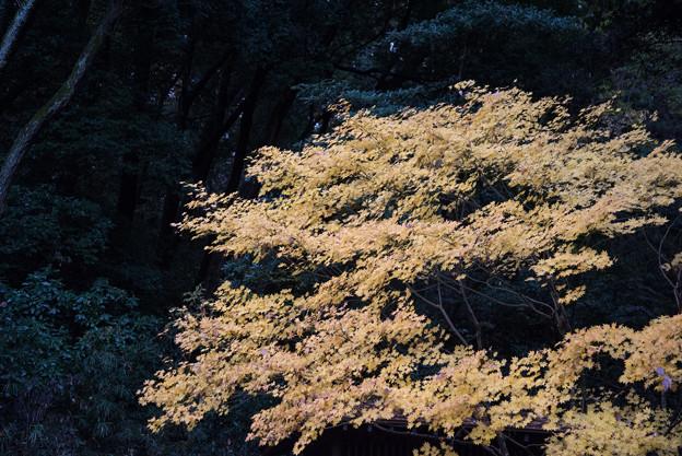 【生田緑地:カエデの黄葉】1