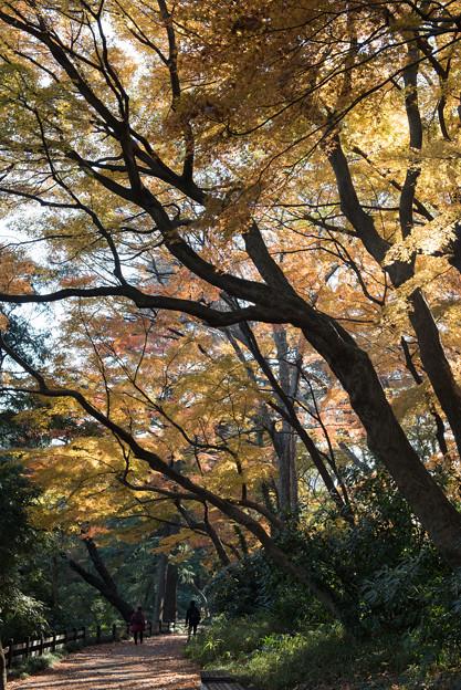 【新宿御苑:下の池の道沿いの黄葉】