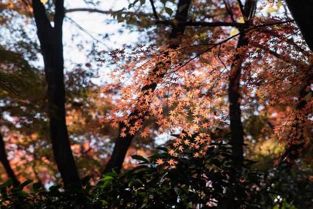【新宿御苑:もみじ山の木と紅葉】1