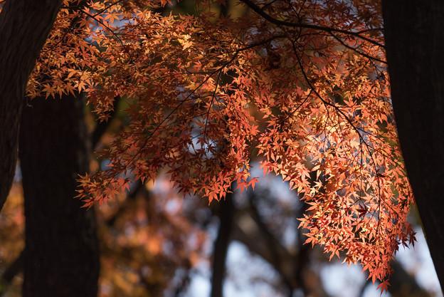 【新宿御苑:もみじ山の木と紅葉】3