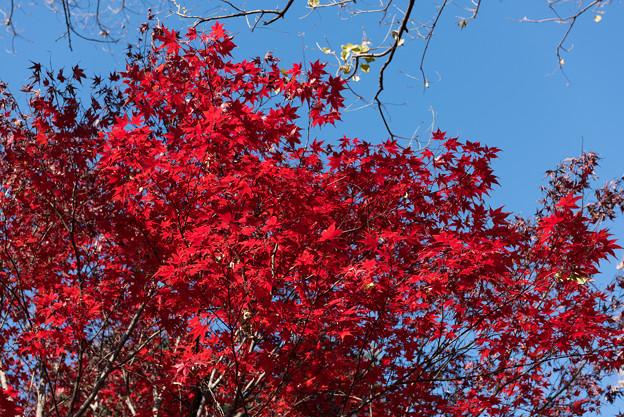 【新宿御苑:真っ赤な紅葉】2