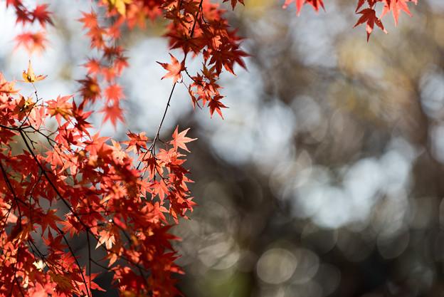 【新宿御苑:真っ赤な紅葉】4