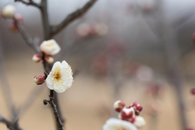 【小田原フラワーガーデン(八重野梅)】1