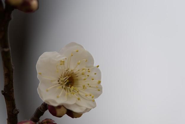 【小田原フラワーガーデン(八重野梅)】5