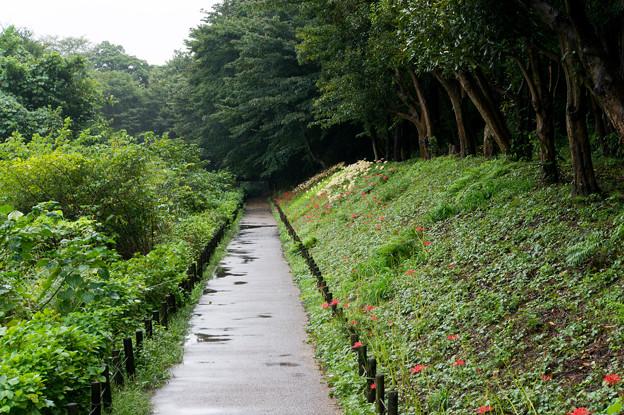 泉の森公園【くらやみ坂斜面の彼岸花】1