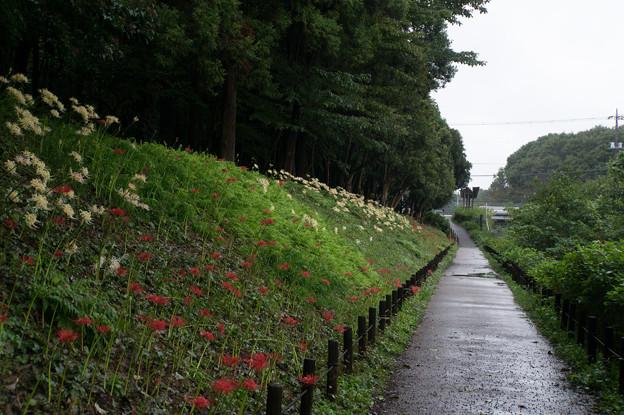 泉の森公園【くらやみ坂斜面の彼岸花】3