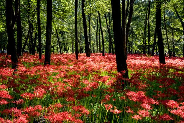 巾着田【赤い絨毯】2