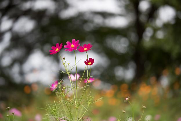 昭和記念公園【花の丘のコスモス:ドワーフ・センセーション】望遠マクロ2