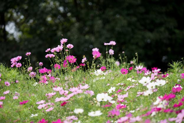 昭和記念公園【花の丘のコスモス:ドワーフ・センセーション】望遠マクロ5