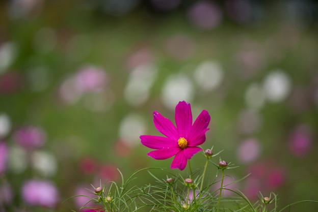 昭和記念公園【花の丘のコスモス:ドワーフ・センセーション】望遠マクロ7