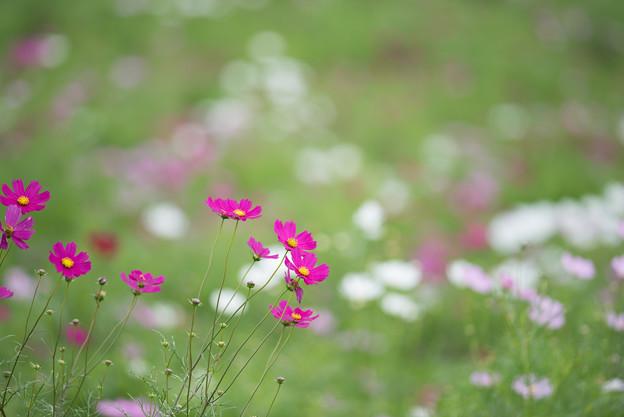 昭和記念公園【花の丘のコスモス:ドワーフ・センセーション】望遠2