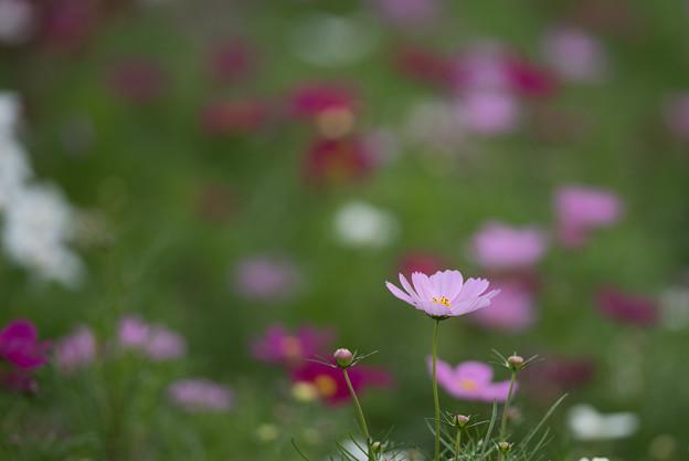 昭和記念公園【花の丘のコスモス:ドワーフ・センセーション】望遠3
