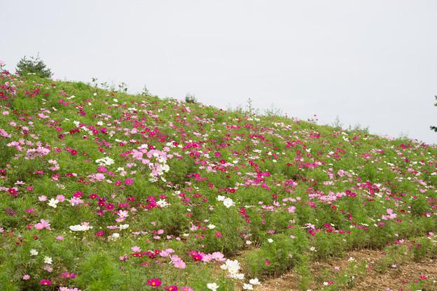 昭和記念公園【花の丘のコスモス:ドワーフ・センセーション】標準マクロ2
