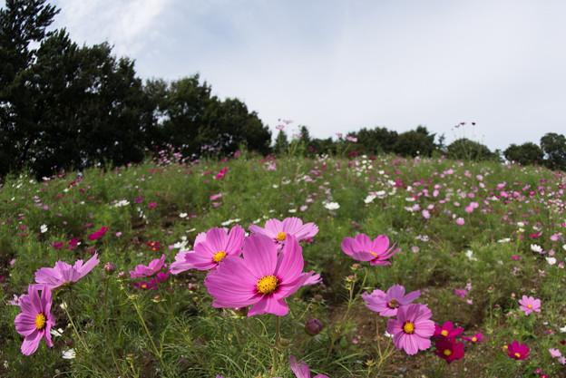 昭和記念公園【花の丘のコスモス:ドワーフ・センセーション】魚眼3
