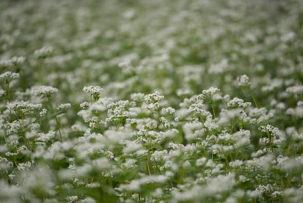 昭和記念公園【白の蕎麦の花】1