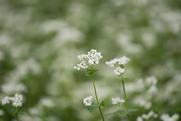 昭和記念公園【白の蕎麦の花】3