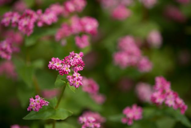 昭和記念公園【赤の蕎麦の花】4