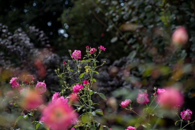 花菜ガーデン【薔薇:ソフィーズ・パーペチュアル】2