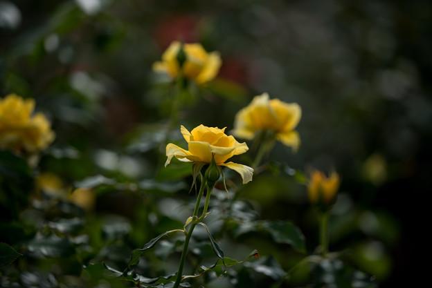 花菜ガーデン【薔薇:コールド・バニー】2