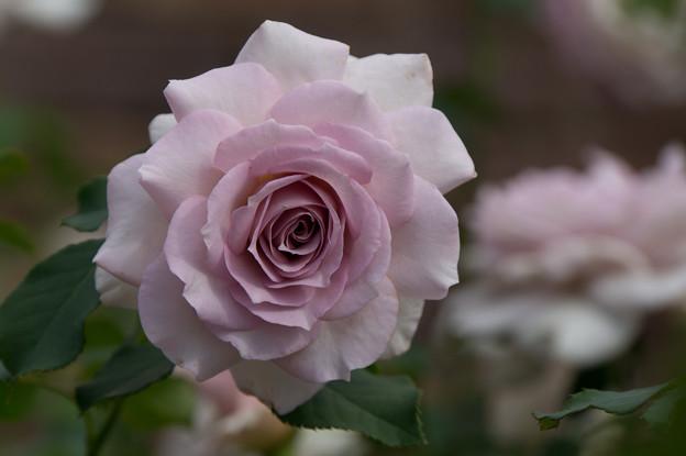 花菜ガーデン【薔薇:ニュー・ウェーブ】3