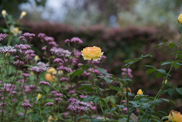 花菜ガーデン【薔薇:モリニュー】1