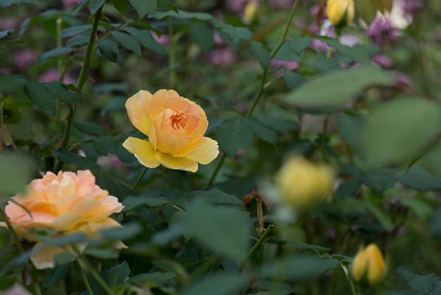 花菜ガーデン【薔薇:モリニュー】2