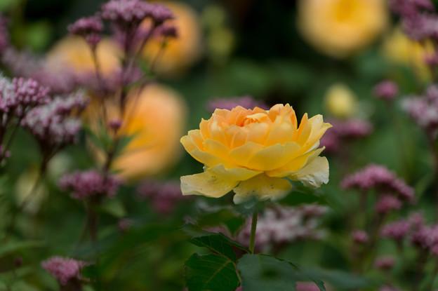 花菜ガーデン【薔薇:モリニュー】3
