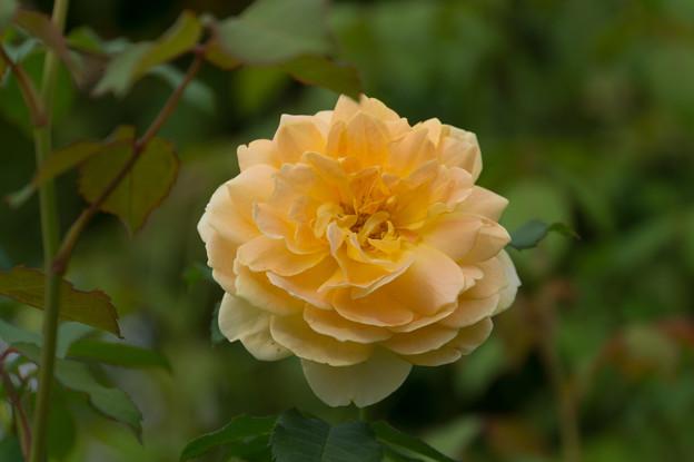 花菜ガーデン【薔薇:モリニュー】5